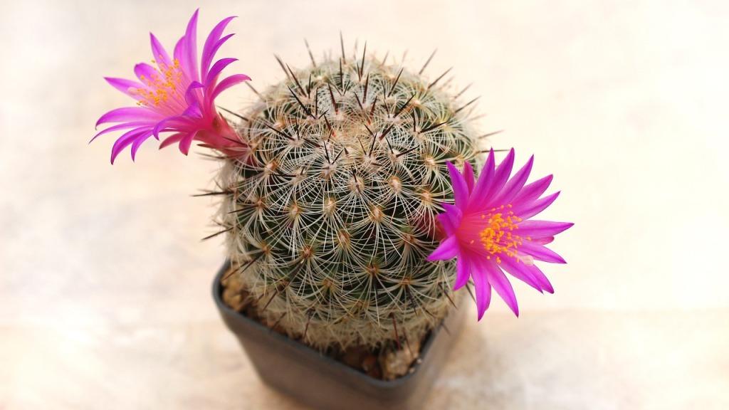 Zineth cactus flower Five senses reviews